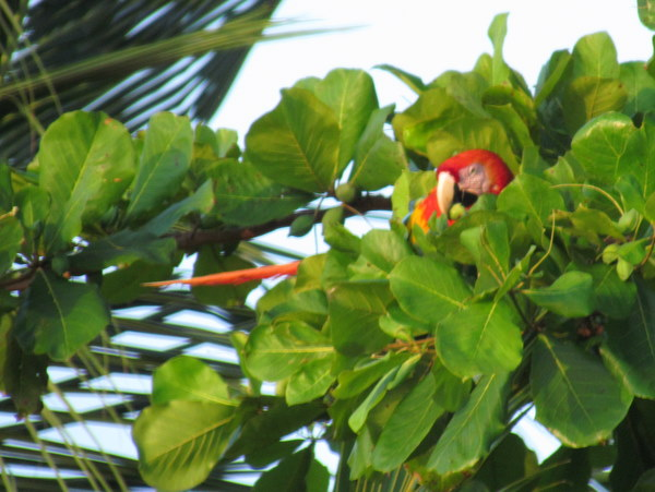 Macaw eating almond