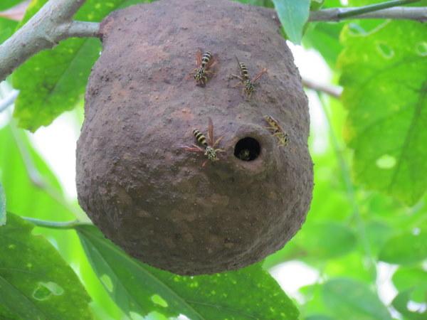 Mud wasps nest