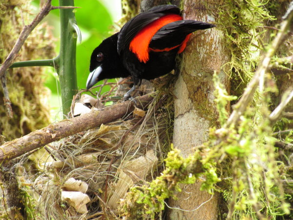 Scarlet rumped tanager (sargent major) on his nest