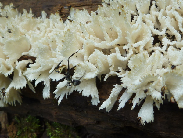 Golden ant on white fungus
