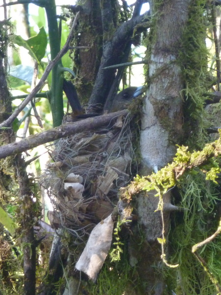 Female scarlet rumpped tanager on the nest